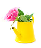 Rose in a yellow water-pot. Pink rose in a yellow water-pot on a white background stock images