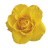 Rose yellow. On white background Royalty Free Stock Photography
