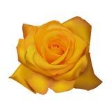 Rose yellow white backgroundvector illustration Royalty Free Stock Image