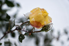 Rose. Yellow rose in winter stock image