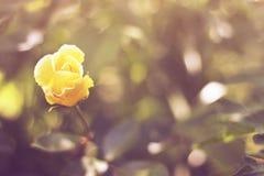 rose yelow Fotografering för Bildbyråer