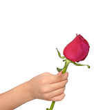 Rose for you Royalty Free Stock Photography