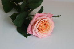 The rose Royalty Free Stock Photos