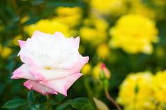Rose Yugiri Stockfotografie