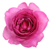 Rose yves piaget Stock Photography