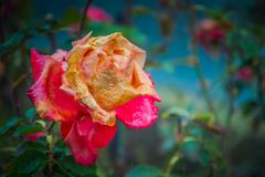 rose zatarty obraz royalty free