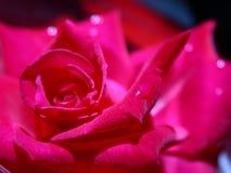 rose zbliżenie Zdjęcie Stock