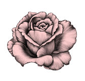 Rose Zeichnung des Baums auf einem weißen Hintergrund Lizenzfreies Stockfoto