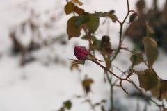 rose zimy Zdjęcie Stock