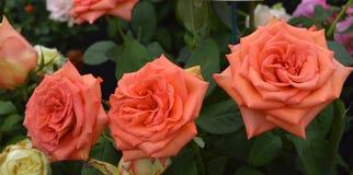 Rose Zorina-bloemen royalty-vrije stock afbeeldingen