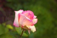 Rose zwei Farben Lizenzfreies Stockfoto