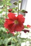 Rosea comune del Alcea del fiore della malvarosa Immagine Stock