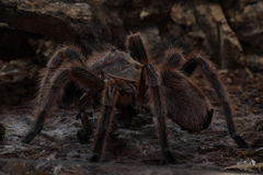 Rosea de Grammostola de tarentule d'araignée Photos libres de droits