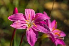 Rosea de Lily Zephyranthes de la lluvia Imagenes de archivo