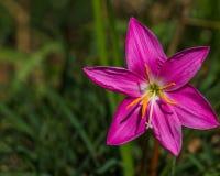 Rosea de Lily Zephyranthes de la lluvia Fotos de archivo