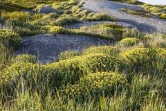 Rosea de Rhodiola également connu sous le nom de racine d'or, photographie stock libre de droits