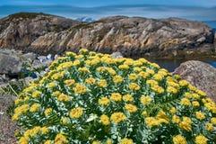 Rosea de Rhodiola, racine d'or norvégienne Images libres de droits