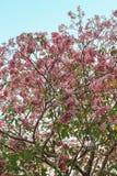 Rosea de Tabebuia (poui rose, arbre de trompette attrayant) photo libre de droits