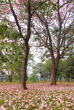 Rosea de Tabebuia (poui rose, arbre de trompette attrayant) Photographie stock