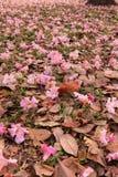 Rosea de Tabebuia (poui rose, arbre de trompette attrayant) images libres de droits