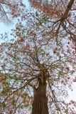 Rosea de Tabebuia (poui rose, arbre de trompette attrayant) photos stock