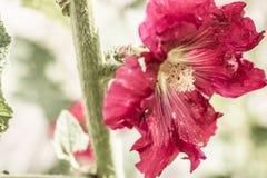 Rosea del Alcea Imagen de archivo libre de regalías