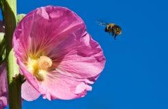 Rosea del Alcea con la abeja Imágenes de archivo libres de regalías