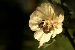 Rosea del Alcea con la abeja ocupada Foto de archivo libre de regalías