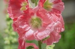 Rosea del rosa, rojo, del color de la malvarrosa o del Alcea Fondo imagen de archivo