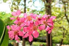 Rosea di Tabebuia o albero di tromba rosa fotografie stock