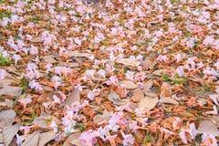 Rosea en baisse de fleurs-Tabebuia (poui rose, arbre de trompette attrayant) images libres de droits