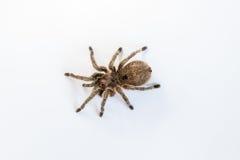 Rosea Grammostola тарантула, Стоковая Фотография RF