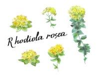 Rosea Rhodiola που απομονώνεται στο λευκό Στοκ φωτογραφία με δικαίωμα ελεύθερης χρήσης