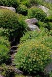 Πράσινα μαξιλάρια  rosea rhodiola Στοκ φωτογραφίες με δικαίωμα ελεύθερης χρήσης