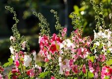 Rosea rosa del Alcea del fiore della malvarosa Immagine Stock
