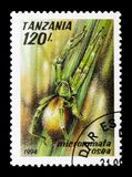 Rosea verde di Micrommata del ragno del cacciatore, serie delle aracnidi, circa Fotografie Stock
