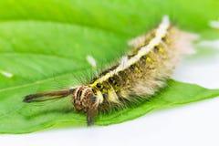Roseapple caterpillar Royalty Free Stock Image