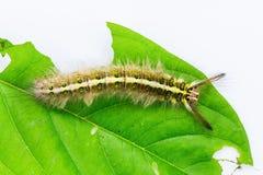 Roseapple caterpillar or small-tent caterpillar Royalty Free Stock Image