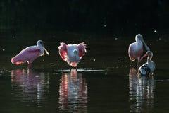 Roseate колпицы и ювенильный белый ibis & x28; Albus& x29 Eudocimus; в Стоковая Фотография RF