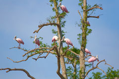 Roseate колпицы на дереве Стоковое Фото