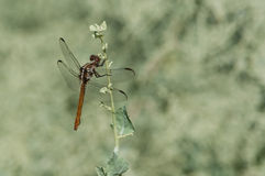 Roseate Skimmer. Perched on a wildflower royalty free stock image