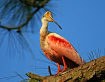 Roseate Spoonbill Royalty Free Stock Image