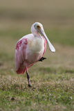 Roseate Spoonbill Stock Images