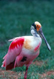 ROSEATE SPOONBILL. Resting in field, live in mangrove swamps along the Gulf Coast Royalty Free Stock Photography