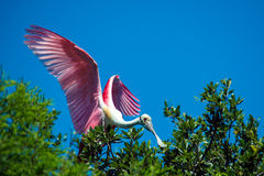 Roseate Spoonbill Stock Photography