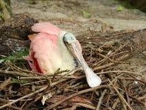Roseate spoonbill Стоковое Изображение