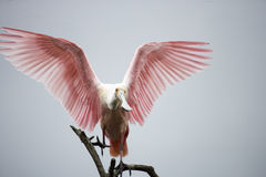 Roseate Spoonbill Royalty Free Stock Images