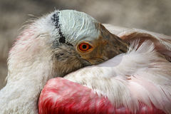 roseate spoonbill Obrazy Royalty Free