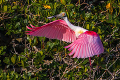 roseate spoonbill Obraz Royalty Free