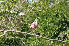 roseate spoonbill Arkivfoton